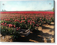 Acrylic Print featuring the photograph Waiting To Be Picked by Sylvia Cook