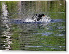 Walk On Water - The Anhinga Acrylic Print by Christine Till