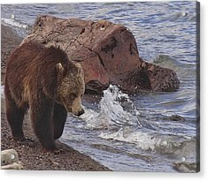 Walking Grizzly Bear On Lakeshore Acrylic Print by Dan Sproul