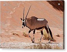 Walking Male Oryx (oryx Gazella Acrylic Print