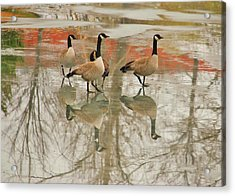 Walking On Thin Ice Acrylic Print by Joy Bradley