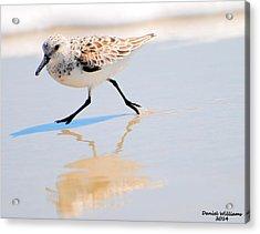 Walking Shorebird  Acrylic Print