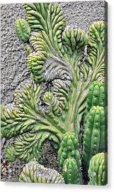 Wall Cactus Acrylic Print by Misty Stach