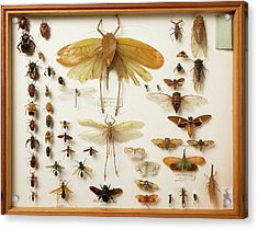 Wallace Collection Insect Specimens Acrylic Print