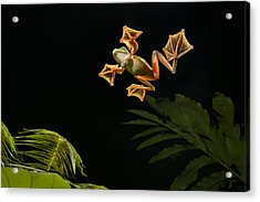 Wallaces Flying Frog Danum Valley Sabah Acrylic Print by Ch'ien Lee