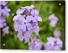 Wallflowers Get Attention Acrylic Print by Maria Janicki