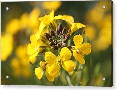 Wallflowers Acrylic Print by Mark Severn