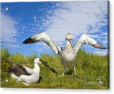 Wandering Albatross Courting  Acrylic Print