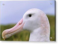 Wandering Albatross (diomendea Exulans Acrylic Print