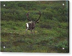 Wandering Caribou Acrylic Print