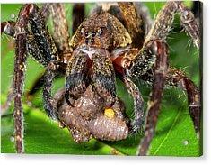 Wandering Spider Feeding Acrylic Print by Dr Morley Read