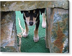 Wannabe Sled Dog In The Yukon Acrylic Print by Richard Rosenshein