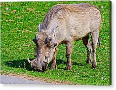 Warthog In Addo Elephant Park Near Port Elizabeth-south Africa  Acrylic Print by Ruth Hager