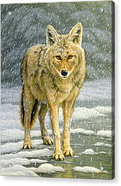 Wary Approach - Coyote Acrylic Print