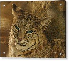 Wary Bobcat Acrylic Print
