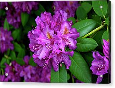 Washington Coastal Rhododendron Acrylic Print
