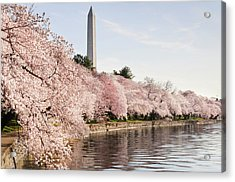 Washington Dc Cherry Blossoms And Acrylic Print by Ogphoto
