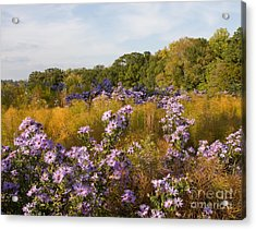 Washington Fall Asters  Acrylic Print