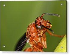 Wasp 1 Acrylic Print