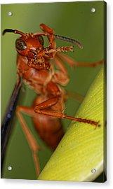 Wasp 3 Acrylic Print