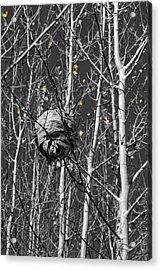 Wasp Nest In Aspen Acrylic Print
