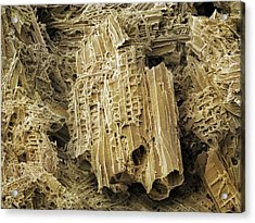 Wasp Nest Material (sem) Acrylic Print by Science Photo Library