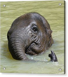 Watch My Trunk - Young Asian Elephant Acrylic Print by Margaret Saheed