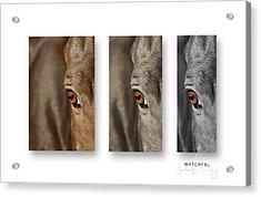 Watchful Triptych Acrylic Print