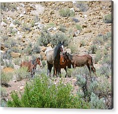 Watchful Acrylic Print by Amy Ernst