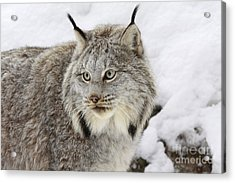 Watchful Canadian Lynx Acrylic Print by Inspired Nature Photography Fine Art Photography