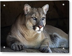 Watchful Cougar Acrylic Print by John Van Decker