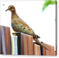Watchful Dove Acrylic Print by Helen Carson