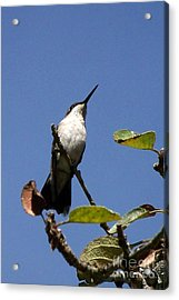 Watchful Female Hummingbird  Acrylic Print by Eunice Miller