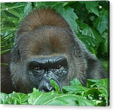 Watchful Gorilla Acrylic Print by Margaret Saheed