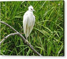 Watchful Heron Acrylic Print