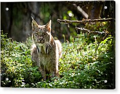 Watchful Mama Lynx Acrylic Print