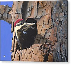 Watchful Woodpecker Acrylic Print by Kirsten Wahlquist