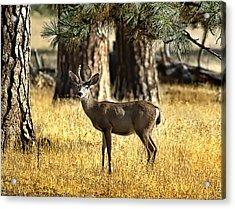 Watchful Young Buck Acrylic Print