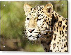 Watching Leopard Acrylic Print