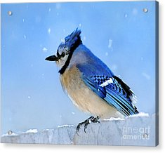 Watching The Snow Acrylic Print by Betty LaRue