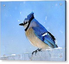 Watching The Snow Acrylic Print by Betty LaRue