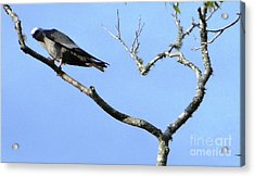Acrylic Print featuring the photograph Watching You Like A Hawk by Ecinja Art Works