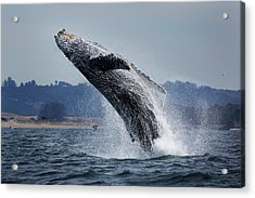 Water Ballet Acrylic Print by Chase Dekker Wild-life Images