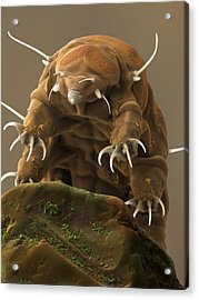 Water Bear Or Tardigrade Acrylic Print by Science Photo Library