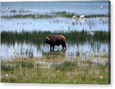 Water Buffalo At Lake Nakuru Acrylic Print