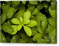 Water Drops New Growth Acrylic Print