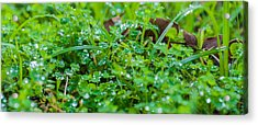 Water Drops On The  Grass 0048 Acrylic Print by Terrence Downing