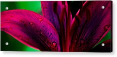 Water-drops On The Petal Acrylic Print by Shelby  Young