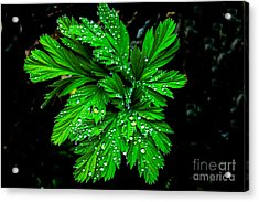 Water Drops Acrylic Print by Robert Bales