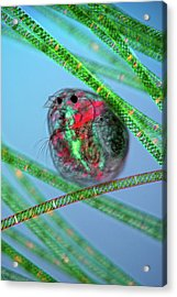 Water Flea And Spirogyra Acrylic Print by Marek Mis